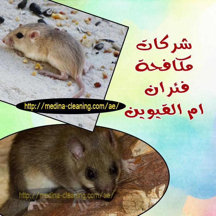 مكافحة فئران ام القيوين - ابادة القوارض ام القيوين
