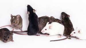 مكافحة فئران بالشارقة - مكافحة قوارض بالشارقة