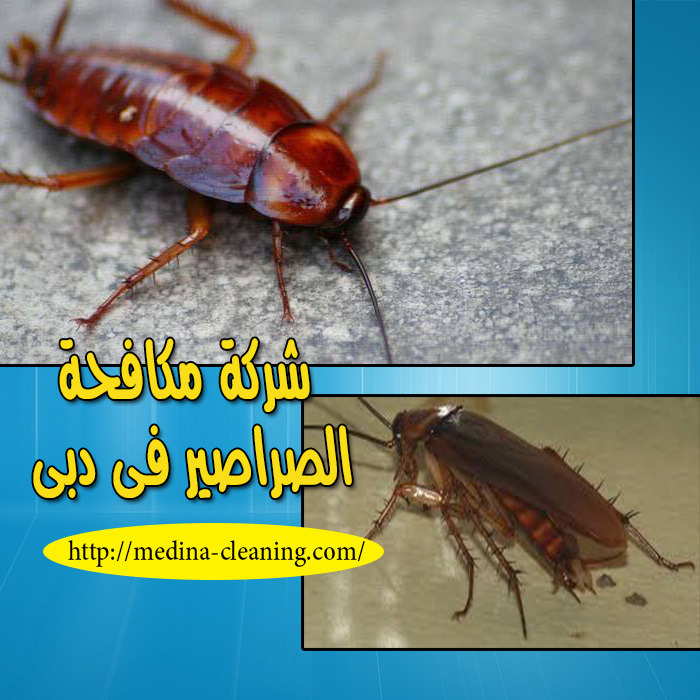 شركة مكافحة الصراصير فى دبى