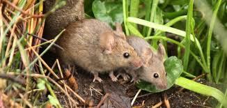 شركة مكافحة الفئران بالعين